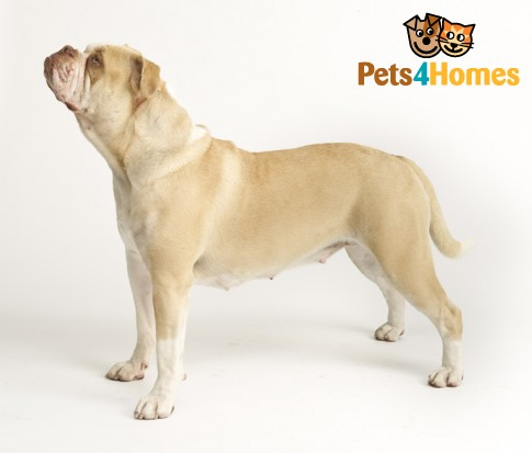 Alapaha Blue Blood Bulldog Information Dog Breeds At Dogthelove