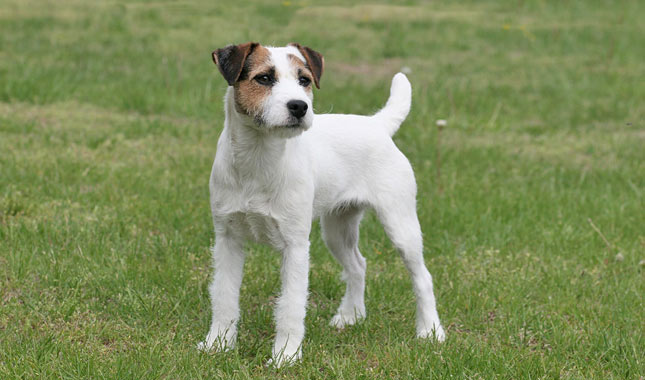 jack russell terrier information dog breeds at dogthelove