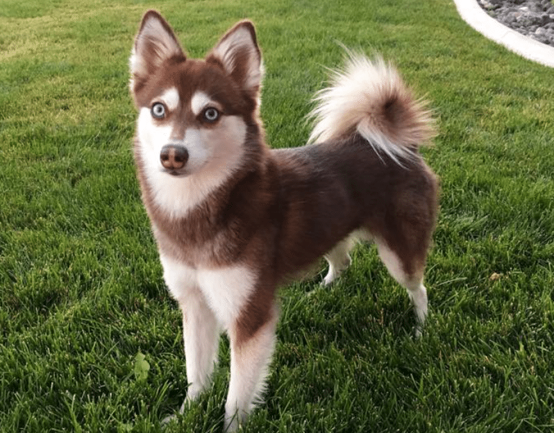 Alaskan Klee Kai Information Dog Breeds At Dogthelove