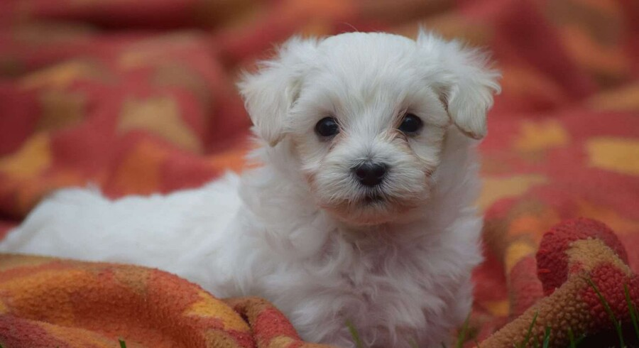 Maltipoo. a Dog named Tucker for Sale, Dog for Sale.