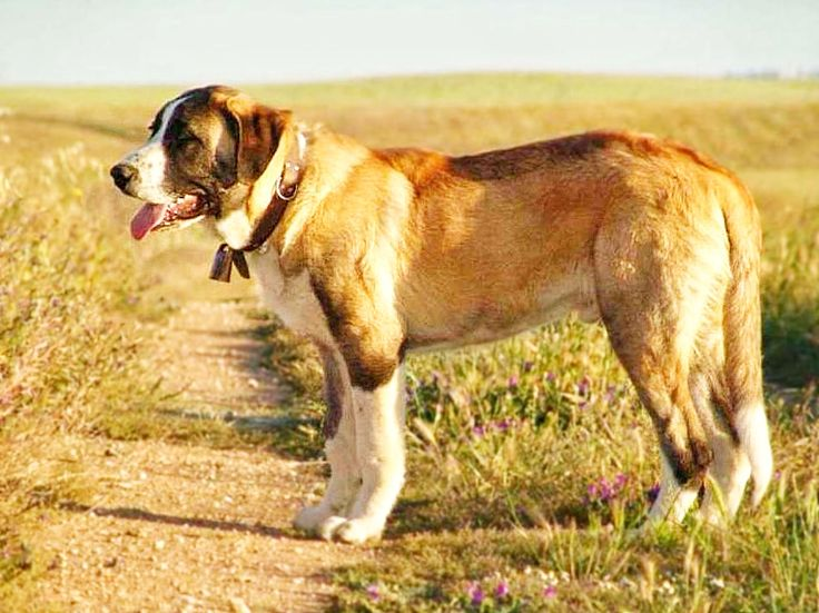 Which Large Breed Dogs Shed The Least