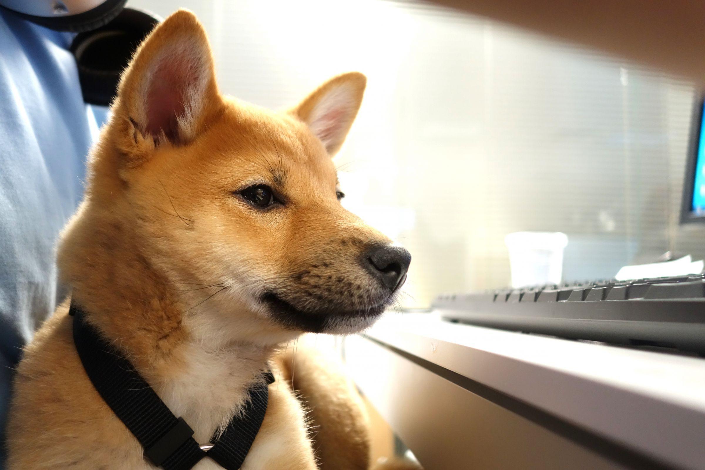 Shiba Inu Information Dog Breeds At Dogthelove