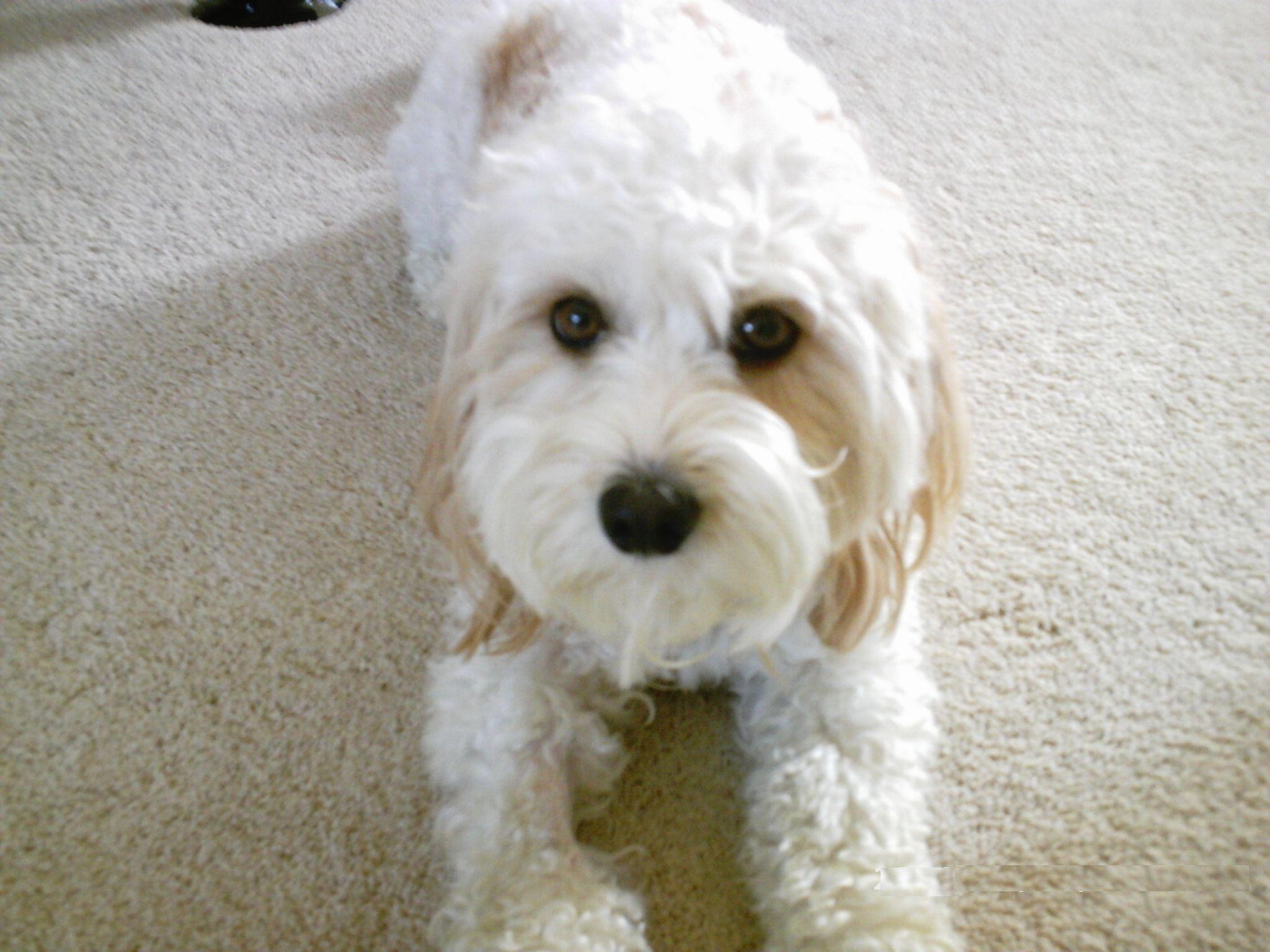 Cavachon Information Dog Breeds At Dogthelove
