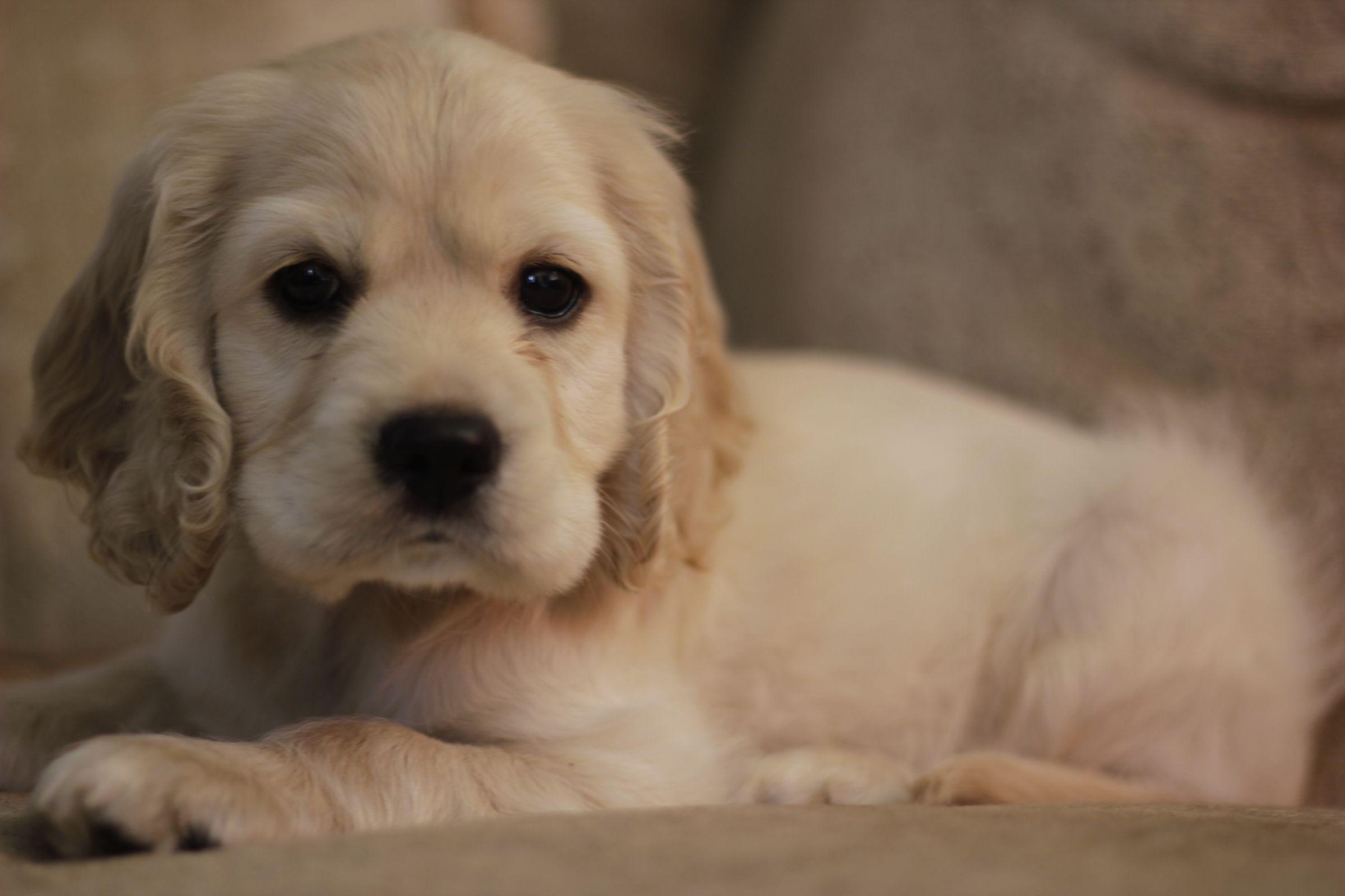 Englisher Spaniel Information Dog Breeds At Dogthelove