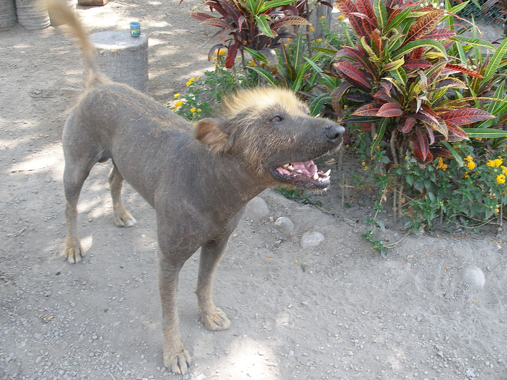 Peruvian Inca Orchid Information Dog Breeds At Dogthelove