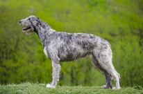 Protective-Dog-Breeds