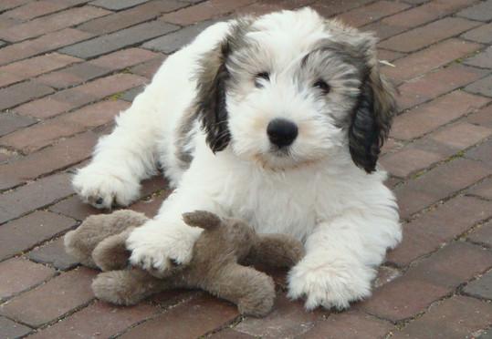 Polish Lowland Sheepdog