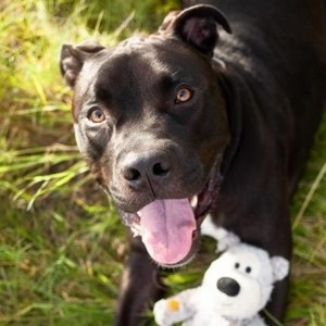 Rhino/Terrier / Pit Bull Mix/Male/Adult