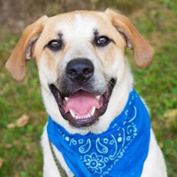 Cooder/Labrador Retriever / Great Pyrenees Mix/Male/2 years