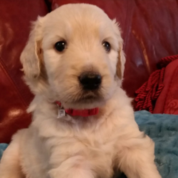 Oskar/Goldendoodle/Male/Inquiry Needed