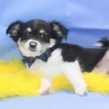 Yogi/Chihuahua/Male/10 Weeks
