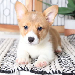 Gretta/Corgi/Female/16 weeks