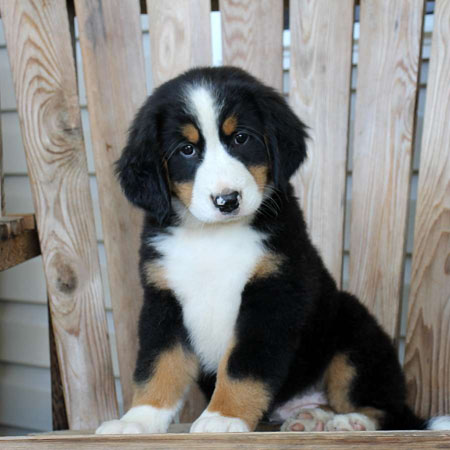 Bernese Mountain Dog/Female/13 Weeks