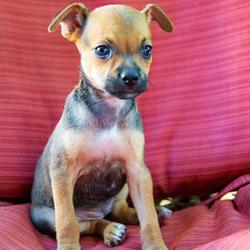 Gamora/Terrier Mix/Female/Puppy