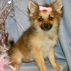 Leena/Pomeranian/Female/16 Weeks