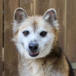 Hershel/Corgi / Australian Shepherd Mix/Male/10 years