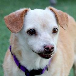Tito/Chihuahua Mix/Male/Senior