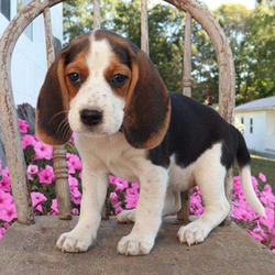 Daisy/Beagle/Female/14 Weeks