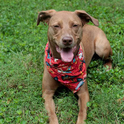 Adopt a dog:Roxy/Weimaraner / Labrador Retriever Mix/Female/Adult,