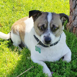 Adopt a dog:Tom/Jack Russell Terrier / Terrier Mix/Male/Young,