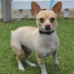 Adopt a dog:Sinco/Toy Fox Terrier / Chihuahua Mix/Male/Adult,