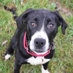 Adopt a dog:Brooks/ Labrador Retriever Mix/Female/Young ,