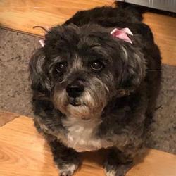Dizzy/Shih Tzu / Poodle Mix/Female/11 years