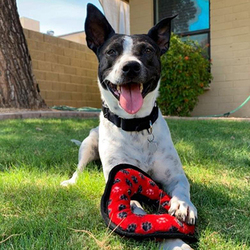 Adopt a dog:Lacy/ Cattle Dog Mix/Female/Young,