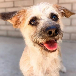 Adopt a dog:Max/ Schnauzer Mix/Male/Puppy ,