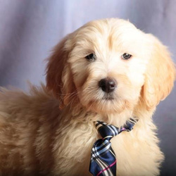 Chadwich/Goldendoodle/Male/9 Weeks