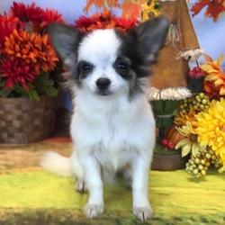 Frankie/Chihuahua/Male/26 Weeks