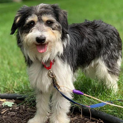 Provo/Border Collie / Schnauzer Mix /Male/Adult