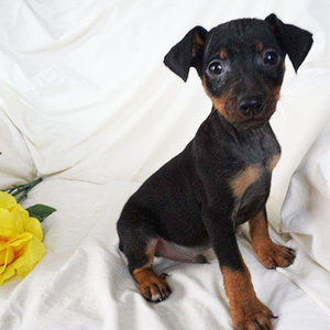 Asher/Miniature Pinscher/Male/11 Weeks,Asher is an adorable Miniature Pinscher puppy who loves to run and play. This sweet guy is very energetic and is ready to join in all of your family fun. He is vet checked and up to date on shots and wormer. Asher has been microchipped, plus comes with a health guarantee provided by the breeder. To learn more about this fun-loving pup, please contact the breeder today!