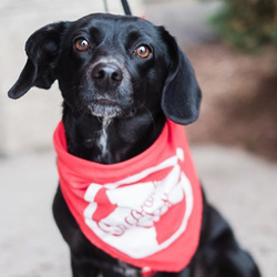 Adopt a dog:Hollee/Dachshund & Terrier Mix /Female/Adult,
