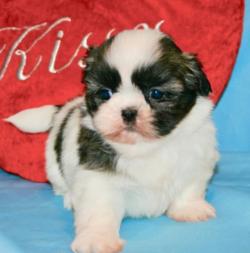Adopt a dog:Benny/Shih Tzu/Male/7 Weeks,
