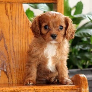 Kent/Cavalier King Charles Spaniel/Male/10 Weeks,Kent is a lovable Cavalier puppy who is sure to melt your heart. This little cutie is vet checked and up to date on shots and wormer. He can be registered with the ACA, plus comes with a health guarantee provided by the breeder. Kent is super sweet and is sure to make a great addition to any family. To learn more about this adorable pup, please contact the breeder today!