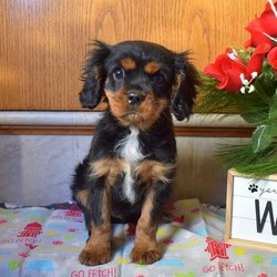 Ceasar/Cavalier King Charles Spaniel/Male/15 Weeks,Say hello to Ceasar! He is a cute Cavalier puppy with lots of spunk. This sweet pup is vet checked and up to date on shots and wormer. He can be registered with the ICA, plus comes with a health guarantee provided by the breeder. Ceasar is family raised with children and is well socialized. His friendly mother is the family pet and is available to meet. To learn more about Ceasar, please contact the breeder today!