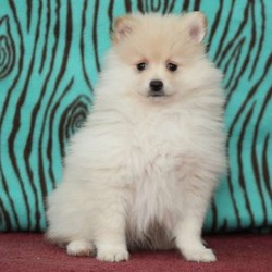 Teddy/Pomeranian/Male/10 Weeks,This adorable Pomeranian puppy is vet checked and has a health guarantee through the breeder. Plus, he can be ACA registered and is up to date on immunizations and wormer. Teddy is very fluffy and loads of fun. He is waiting for a new family to love on him! Are you interested in this sweet pup? Please give the breeder a phone call to find out more information!
