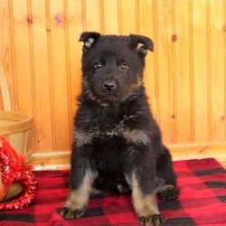 Kip/German Shepherd/Male/8 Weeks