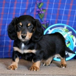 Cutie/Dachshund/Female/10 Weeks