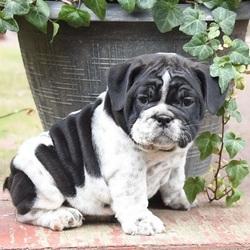 Henrietta/English Bulldog/Female/9 Weeks