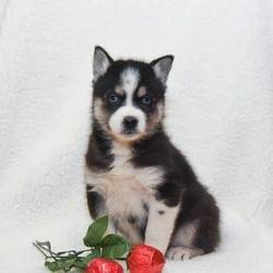Paige/Pomsky/Female/13 Weeks,Meet Paige, a spunky Pomsky puppy with an adventurous spirit. She is vet checked, up to date on shots and wormer, plus comes with a health guarantee provided by the breeder. Paige loves to play and is ready to join in all of your family fun. To learn more about this social butterfly, please contact the breeder today!