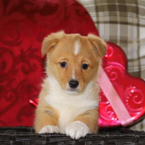 Teagan/Pembroke Welsh Corgi/Female/14 Weeks,Meet Teagan! She is a Pembroke Welsh Corgi pup who is just as cute as can be. This friendly gal is vet checked and up to date on shots and wormer. She can be registered with the ACA, plus comes with a 30 day health guarantee provided by the breeder. Teagan is family raised with children and she's very laid back. To learn more about this cuddly pup, please contact the breeder today!