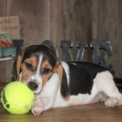 Ria/Beagle/Female/19 Weeks