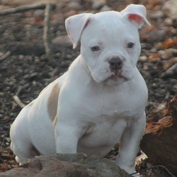 Grout/American Bulldog/Male/13 Weeks