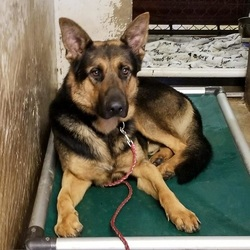 Lightning/German Shepherd Dog Mix/Female/Senior