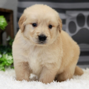 Joey/Golden Retriever/Male/7 Weeks,Stop right there, and look no further! Joey is the one you have been looking for. He will win your heart with his first puppy kiss. Joey is the perfect cuddle buddy. He is always ready to curl up and snuggle up right next to you. Joey will be sure to come home to you happy, healthy, and full of kisses just for you. He is very sweet and I'm sure you'll fall in love with him at first sight. He will come home to you up to date on vaccinations and pre-spoiled. Don't pass up on this baby because he can't wait to meet you!