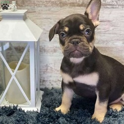 Grizzly Bear/French Bulldog/Male/12 Weeks