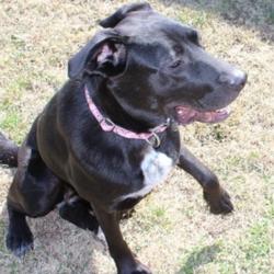 Adopt a dog:Daisy/ Afghan Hound  / Labrador Retriever Mix/Female/Young,