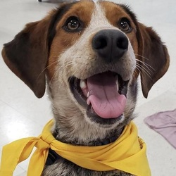 Adopt a dog:Shilo/Beagle Mix/Male/Young,